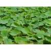 河北水生植物销售基地、河北水生植物供应批发公司